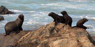 Madre y bebés meridionales del lobo marino Imagen de archivo