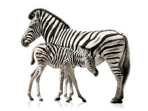Madre y bebé de la cebra Foto de archivo libre de regalías
