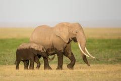 Madre y becerro, Amboseli, Kenia del elefante africano Fotografía de archivo libre de regalías