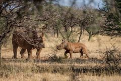 Madre y becerro blancos del rinoceronte Imágenes de archivo libres de regalías