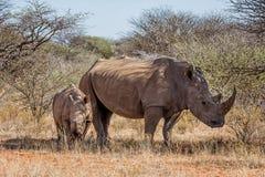 Madre y becerro blancos del rinoceronte Fotos de archivo