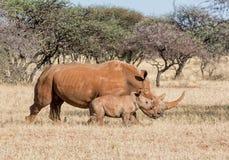 Madre y becerro blancos del rinoceronte Fotos de archivo libres de regalías