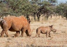 Madre y becerro blancos del rinoceronte Foto de archivo