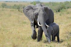 Madre y becerro cariñosos del elefante Fotografía de archivo
