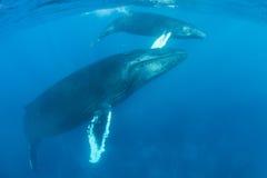 Madre y becerro de la ballena jorobada en el mar del Caribe Foto de archivo libre de regalías