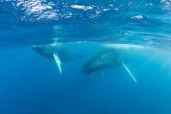 Madre y becerro de la ballena jorobada en la superficie del mar del Caribe Imágenes de archivo libres de regalías