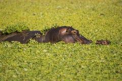 Madre y becerro del hipopótamo Foto de archivo