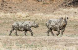 Madre y becerro del rinoceronte negro Fotos de archivo libres de regalías
