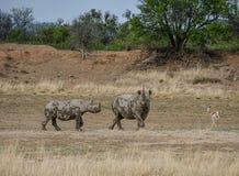 Madre y becerro del rinoceronte negro Imágenes de archivo libres de regalías
