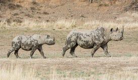 Madre y becerro del rinoceronte negro Imagen de archivo libre de regalías