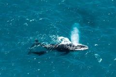 Madre y becerro, la isla de St Mary, Madagascar de la ballena jorobada Fotografía de archivo