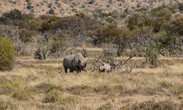 Madre y becerro negros del rinoceronte Foto de archivo libre de regalías