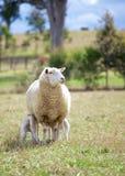 Madre y corderos Foto de archivo libre de regalías