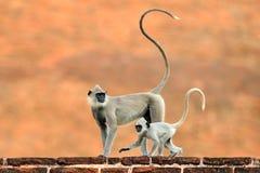 Madre y funcionamiento joven Fauna de Sri Lanka Langur común, entellus de Semnopithecus, mono en el edificio de ladrillo anaranja Foto de archivo libre de regalías