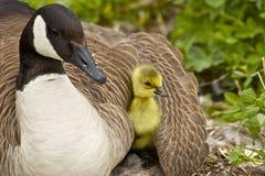 Madre y Gosling del ganso de Canadá Imagen de archivo libre de regalías