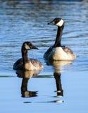 Madre y Gosling del ganso de Canadá Imagenes de archivo