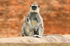 Madre y joven, amamantando Fauna de Sri Lanka Langur común, entellus de Semnopithecus, mono en el buildin anaranjado del ladrillo imágenes de archivo libres de regalías