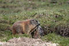 Madre y niño alpestres de la marmota Fotografía de archivo