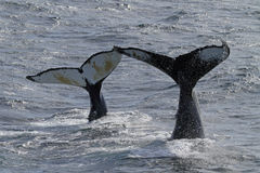 Madre y niño de la ballena de humpback de Ant3artida Imagen de archivo libre de regalías