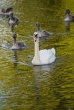 Madre y pollos del cisne del cisne Fotos de archivo