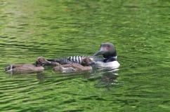 Madre y polluelos comunes del immer del Gavia del bribón Imágenes de archivo libres de regalías