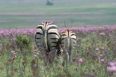 Madre y potro de la cebra en el prado de flores salvajes Imagen de archivo libre de regalías