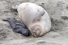 Madre y sello de elefante recién nacido del perrito que mienten en una playa imágenes de archivo libres de regalías