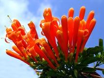 Madreselva anaranjada (ciliosa del Lonicera) Fotografía de archivo