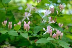 Madreselva floreciente Flores y brotes rosados delicados Fotos de archivo libres de regalías