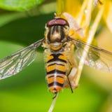 Madreselva Hoverfly Imagen de archivo libre de regalías