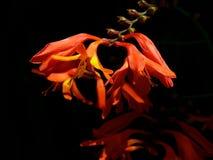 Madressilva africana Foto de Stock Royalty Free
