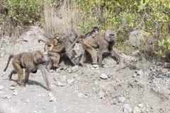Madri del babbuino con il bambino sulla parte posteriore Fotografia Stock