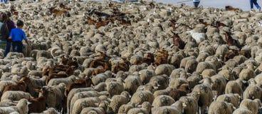 MADRI, ESPANHA, o 21 de outubro de 2018 ¡ de Calle Alcalà Festival da transumância 2018 Um grande rebanho dos carneiros imagem de stock royalty free