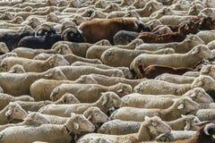 MADRI, ESPANHA, o 21 de outubro de 2018 Festival da transumância 2018 Rebanho dos carneiros imagem de stock royalty free