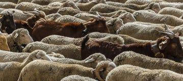MADRI, ESPANHA, o 21 de outubro de 2018 Festival da transumância 2018 Rebanho dos carneiros foto de stock royalty free