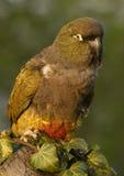Madriguera el loro (patagonus de Cyanoliseus) fotografía de archivo libre de regalías