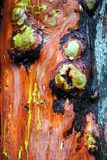 Madrona Bark Royalty Free Stock Photo