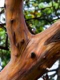 Madrona de Pacifique d'arbre d'Arabutus images libres de droits