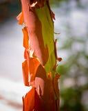 Madrona tree trunk. Madrona  tree with peeling bark Stock Photos