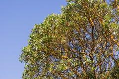 Madrone Arbutus drzewny menziesii rozgałęzia się na nieba tle, Kalifornia obrazy royalty free
