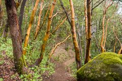 Madrone trees Arbutus menziesii forest on a rainy day, Castle Rock State Park, San Francisco bay area, California royalty free stock photos