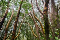 Madrone trees Arbutus menziesii forest on a rainy day, Castle Rock State Park, San Francisco bay area, California stock image