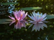 Madrugada del lirio de agua dos o de la flor de loto Marliacea Rosea Los nymphaeas del rosa y blancos brillan intensamente con un fotos de archivo libres de regalías