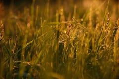 Madrugada en las extremidades de la hierba fotos de archivo libres de regalías