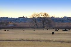 Madrugada que pasta vacas Imagenes de archivo