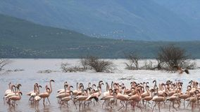 Madrugada tirada de pocos flamencos que aterrizan en la línea de la playa del bogoria del lago metrajes