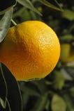 Maduración anaranjada en el árbol Fotos de archivo