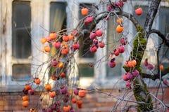 Maduración de las frutas del caqui a lo largo de las calles medievales pintorescas de la ciudad de Kutaisi, capital de la región  foto de archivo