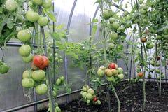 Maduración de los tomates verdes y rojos Fotos de archivo libres de regalías