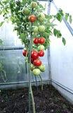 Maduración de los tomates verdes y rojos Foto de archivo libre de regalías